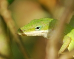 Green anole close up.