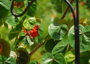 Cardinal-male3