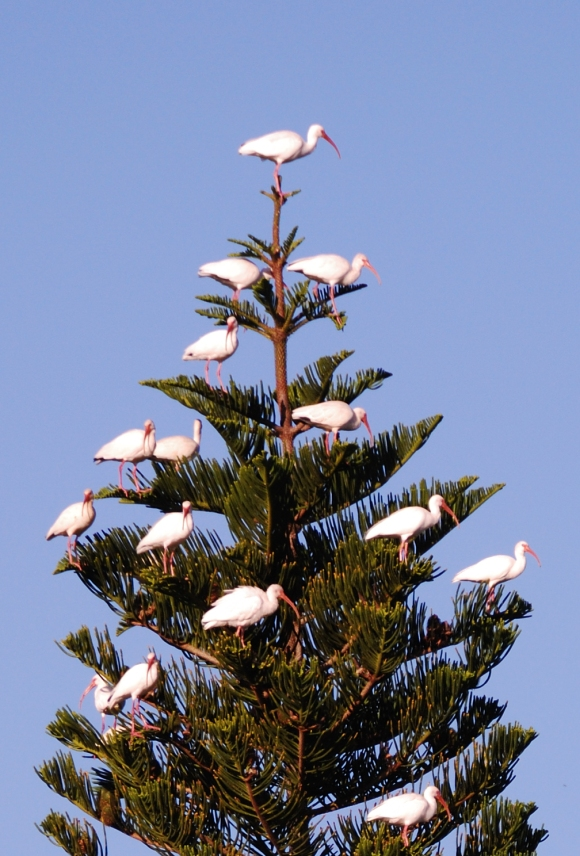 Some white ibis look like Christmas decorations in the top of a very tall tree.